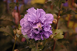 Blueberry Smoothie Rose of Sharon (Hibiscus syriacus 'DS01BS') at TLC Garden Centers