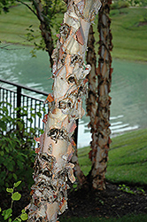 River Birch (Betula nigra) at TLC Garden Centers