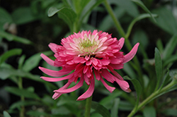 Cone-fections™ Southern Belle Coneflower (Echinacea 'Southern Belle') at TLC Garden Centers