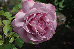 Heirloom Rose (Rosa 'Heirloom') at TLC Garden Centers