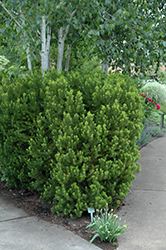 Hicks Yew (Taxus x media 'Hicksii') at TLC Garden Centers