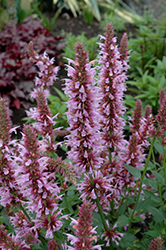 Cotton Candy Hyssop (Agastache 'Cotton Candy') at TLC Garden Centers