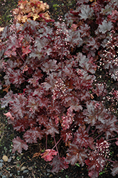 Black Taffeta Coral Bells (Heuchera 'Black Taffeta') at TLC Garden Centers