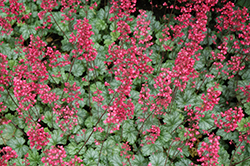 Paris Coral Bells (Heuchera 'Paris') at TLC Garden Centers