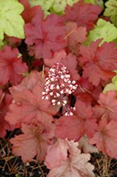 Fire Alarm Coral Bells (Heuchera 'Fire Alarm') at TLC Garden Centers