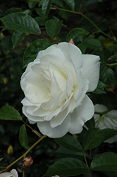 White Licorice Rose (Rosa 'White Licorice') at TLC Garden Centers