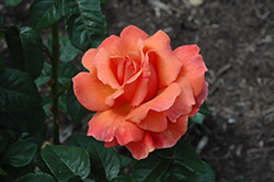 Easy Does It Rose (Rosa 'Easy Does It') at TLC Garden Centers