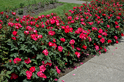 Knock Out® Rose (Rosa 'Radrazz') at TLC Garden Centers