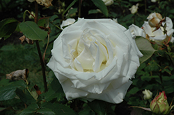 Pope John Paul II Rose (Rosa 'Pope John Paul II') at TLC Garden Centers