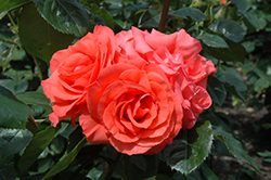 Marmalade Skies Rose (Rosa 'Marmalade Skies') at TLC Garden Centers