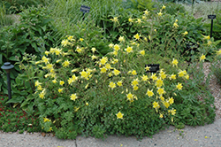 Denver Gold Columbine (Aquilegia chrysantha 'Denver Gold') at TLC Garden Centers