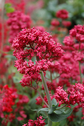 Red Valerian (Centranthus ruber) at TLC Garden Centers