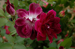 Burgundy Iceberg Rose (Rosa 'Burgundy Iceberg') at TLC Garden Centers