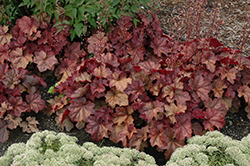 Lava Lamp Coral Bells (Heuchera 'Lava Lamp') at TLC Garden Centers