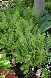 Lady in Red Fern (Athyrium filix-femina 'Lady in Red') at TLC Garden Centers