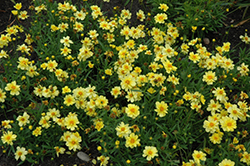 Galaxy Tickseed (Coreopsis 'Galaxy') at TLC Garden Centers