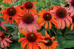 Julia Coneflower (Echinacea 'Julia') at TLC Garden Centers