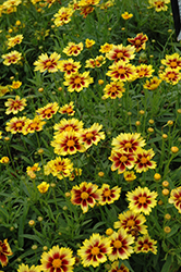 Enchanted Eve Tickseed (Coreopsis 'Enchanted Eve') at TLC Garden Centers