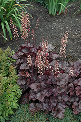 Grape Expectations Coral Bells (Heuchera 'Grape Expectations') at TLC Garden Centers
