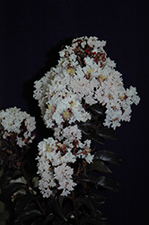 Moonlight Magic™ Crapemyrtle (Lagerstroemia 'PIILAG-IV') at TLC Garden Centers