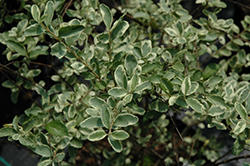 Variegated Privet (Ligustrum sinense 'Variegatum') at TLC Garden Centers