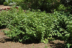 Yellow Twig Dogwood (Cornus sanguinea 'Viridissima') at TLC Garden Centers