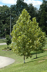 Exclamation! London Planetree (Platanus x acerifolia 'Morton Circle') at TLC Garden Centers