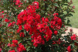 Dynamite Crapemyrtle (Lagerstroemia indica 'Whit II') at TLC Garden Centers