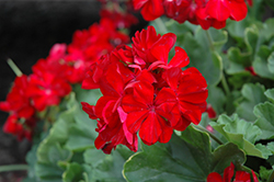 Calliope® Dark Red Geranium (Pelargonium 'Calliope Dark Red') at TLC Garden Centers