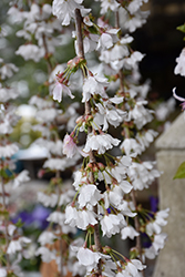 Snow Fountains Yoshino Cherry (Prunus 'Snow Fountains') at TLC Garden Centers