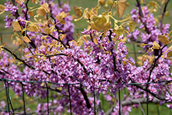 The Rising Sun Redbud (Cercis canadensis 'The Rising Sun') at TLC Garden Centers
