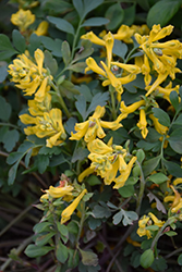 Canary Feathers Corydalis (Corydalis 'Canary Feathers') at TLC Garden Centers
