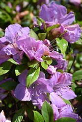 Encore® Autumn Lilac™ Azalea (Rhododendron 'Robles') at TLC Garden Centers