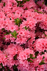 Coral Bells Azalea (Rhododendron 'Coral Bells') at TLC Garden Centers