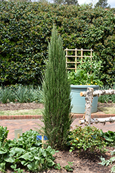 Blue Arrow Juniper (Juniperus scopulorum 'Blue Arrow') at TLC Garden Centers