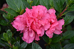 Bloom-A-Thon® Pink Double Azalea (Rhododendron 'RLH1-2P8') at TLC Garden Centers