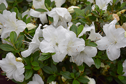 Encore® Autumn Angel™ Azalea (Rhododendron 'Robleg') at TLC Garden Centers