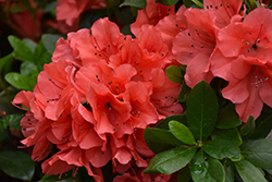 Encore® Autumn Sunset™ Azalea (Rhododendron 'Roblen') at TLC Garden Centers