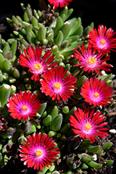 Jewel Of Desert Garnet Ice Plant (Delosperma 'Jewel Of Desert Garnet') at TLC Garden Centers