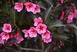Wine and Roses® Weigela (Weigela florida 'Alexandra') at TLC Garden Centers