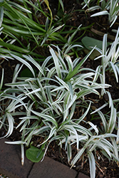 Silver Dragon Lily Turf (Liriope spicata 'Gin Ryu') at TLC Garden Centers