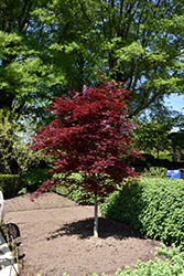 Fireglow Japanese Maple (Acer palmatum 'Fireglow') at TLC Garden Centers
