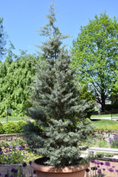 Blue Ice Smooth Arizona Cypress (Cupressus arizonica 'Blue Ice') at TLC Garden Centers