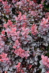 Concorde Japanese Barberry (Berberis thunbergii 'Concorde') at TLC Garden Centers