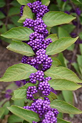 Purple Beautyberry (Callicarpa dichotoma) at TLC Garden Centers