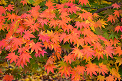 Japanese Maple (Acer palmatum) at TLC Garden Centers