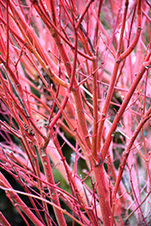 Coral Bark Japanese Maple (Acer palmatum 'Sango Kaku') at TLC Garden Centers