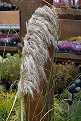 Ivory Feathers® Pampas Grass (Cortaderia selloana 'Pumila') at TLC Garden Centers
