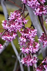 Lavender Twist Redbud (Cercis canadensis 'Covey') at TLC Garden Centers