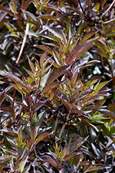 Black Beauty® Elder (Sambucus nigra 'Gerda') at TLC Garden Centers